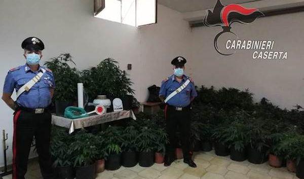 Maddaloni, nell'azienda agricola, anche 244 piante di marijuana riscaldate con allaccio abusivo. Nei guai padre e figlio
