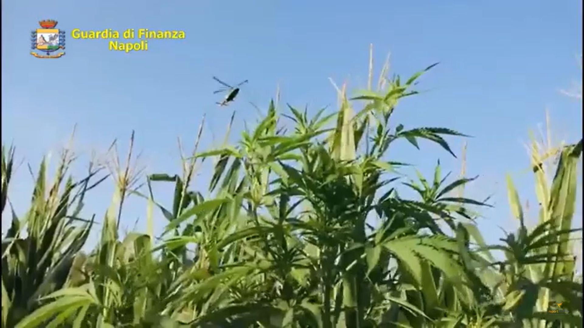Napoli, nasconde la sua piantagione di cannabis tra i rovi di un parco pubblico: scoperto dalla Guardia di Finanza