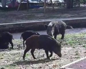 ROMA. PD AMA: CINGHIALI IN PIENO GIORNO IN UN PARCO DEL CENTRO
